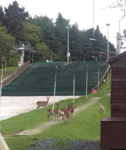 Deer on the ski slope at Kilternan