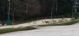 The goats are waiting for their ski lesson
